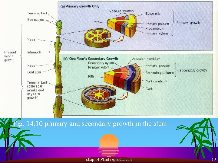 Fig. 14. 10 primary and secondary growth in the stem chap. 14 Plant reproduction