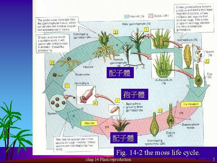 配子體 孢子體 配子體 Fig. 14 -2 the moss life cycle. chap. 14 Plant reproduction