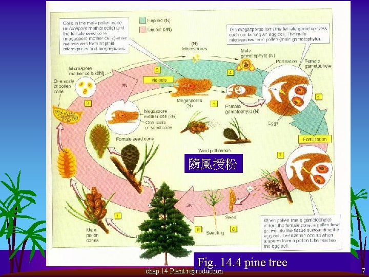 隨風授粉 Fig. 14. 4 pine tree chap. 14 Plant reproduction 7