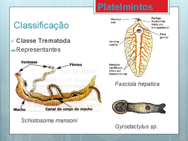 Platyhelminthes clasa trematoda - Oh no, there's been an error