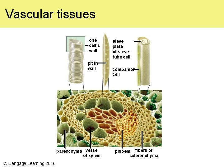 Vascular tissues one cell's wall pit in wall parenchyma vessel of xylem © Cengage