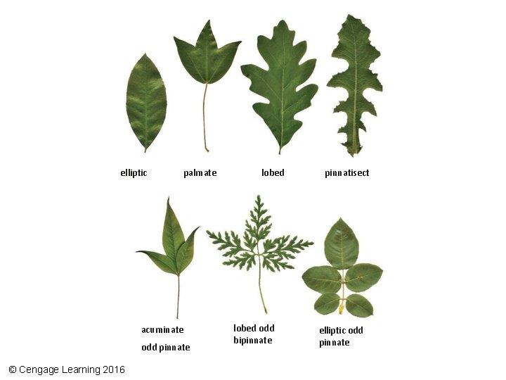 elliptic palmate acuminate odd pinnate © Cengage Learning 2016 lobed odd bipinnate pinnatisect elliptic
