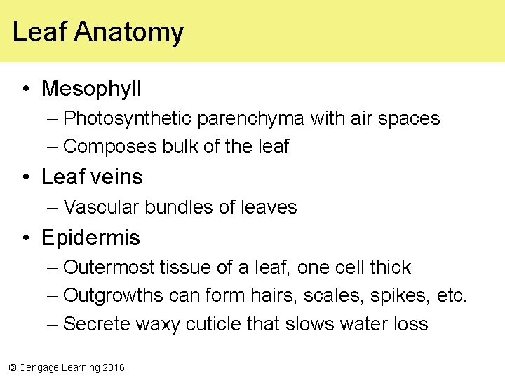 Leaf Anatomy • Mesophyll – Photosynthetic parenchyma with air spaces – Composes bulk of