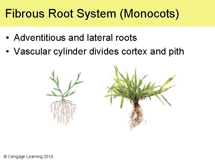 Fibrous Root System (Monocots) • Adventitious and lateral roots • Vascular cylinder divides cortex