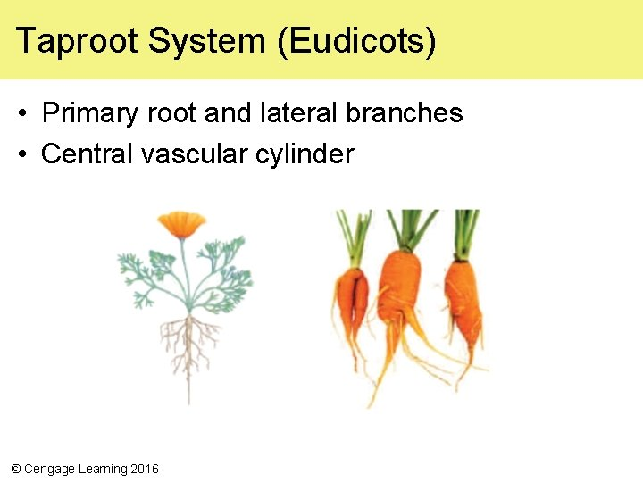 Taproot System (Eudicots) • Primary root and lateral branches • Central vascular cylinder ©