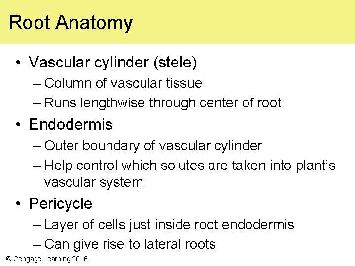 Root Anatomy • Vascular cylinder (stele) – Column of vascular tissue – Runs lengthwise