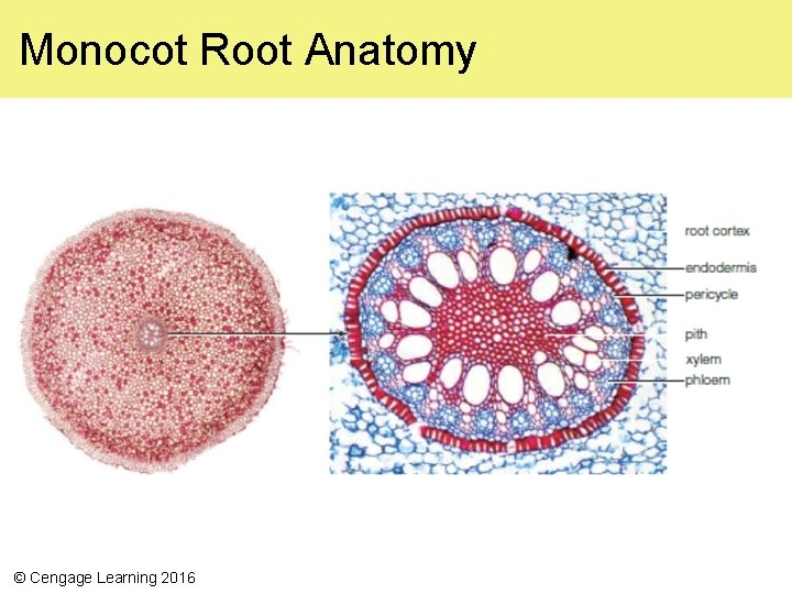 Monocot Root Anatomy © Cengage Learning 2016
