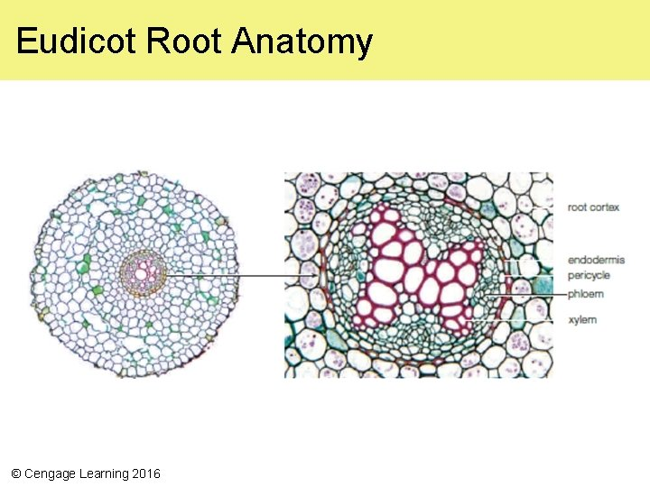 Eudicot Root Anatomy © Cengage Learning 2016