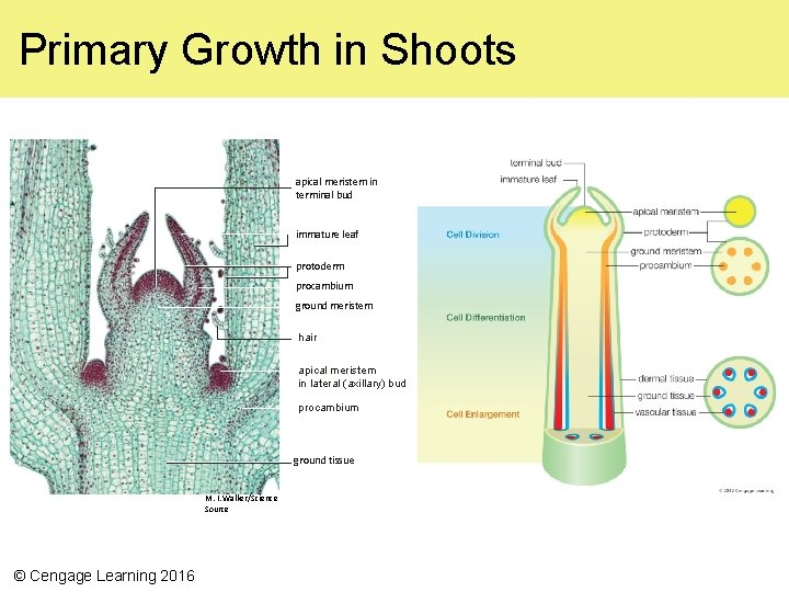 Primary Growth in Shoots apical meristem in terminal bud immature leaf protoderm procambium ground