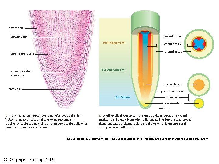 protodermal tissue procambium Cell Enlargement vascular tissue ground meristem Cell Differetiationn apical meristem in