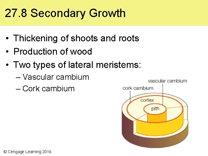 27. 8 Secondary Growth • Thickening of shoots and roots • Production of wood