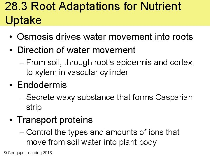 28. 3 Root Adaptations for Nutrient Uptake • Osmosis drives water movement into roots