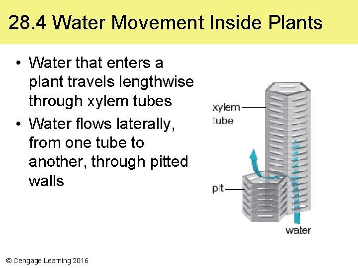 28. 4 Water Movement Inside Plants • Water that enters a plant travels lengthwise