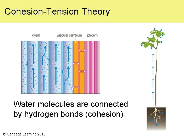 Cohesion-Tension Theory Water molecules are connected by hydrogen bonds (cohesion) © Cengage Learning 2016