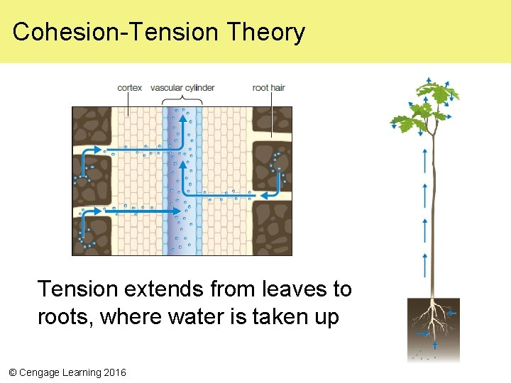Cohesion-Tension Theory Tension extends from leaves to roots, where water is taken up ©