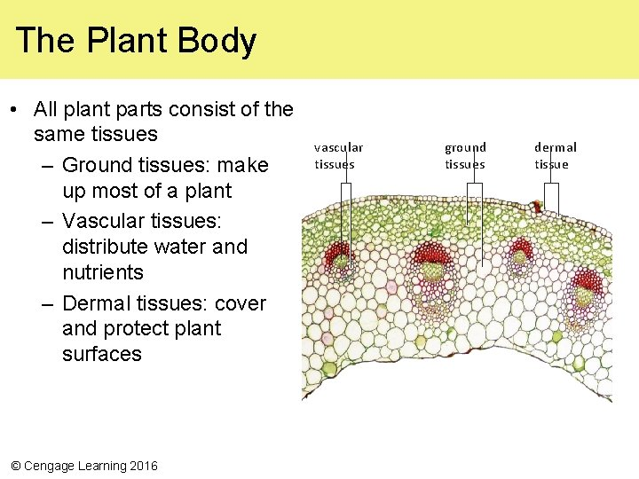 The Plant Body • All plant parts consist of the same tissues – Ground