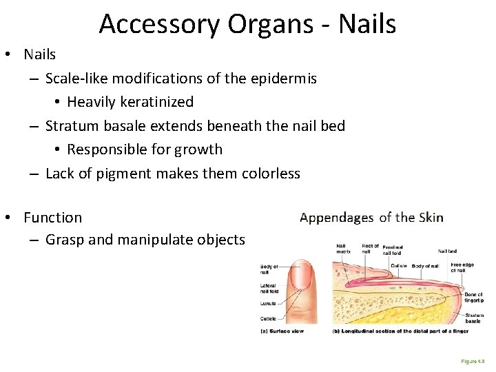 Accessory Organs - Nails • Nails – Scale-like modifications of the epidermis • Heavily