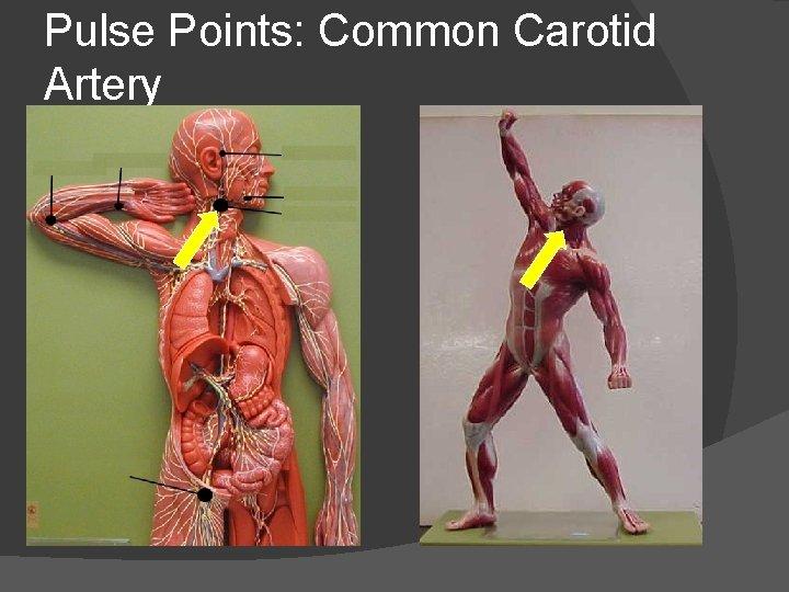 Pulse Points: Common Carotid Artery