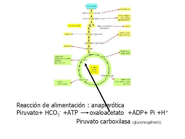 Reacción de alimentación : anaplerótica Piruvato+ HCO 3 - +ATP oxaloacetato +ADP+ Pi +H+