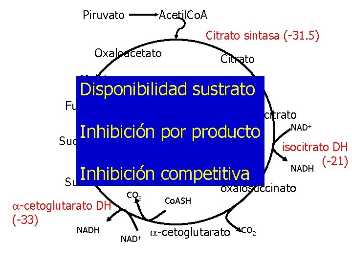 Piruvato Acetil. Co. A Citrato sintasa (-31. 5) Oxaloacetato Citrato Malato Disponibilidad sustrato Fumarato