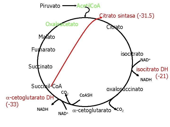 Piruvato Acetil. Co. A Citrato sintasa (-31. 5) Oxaloacetato Citrato Malato Fumarato isocitrato NAD+