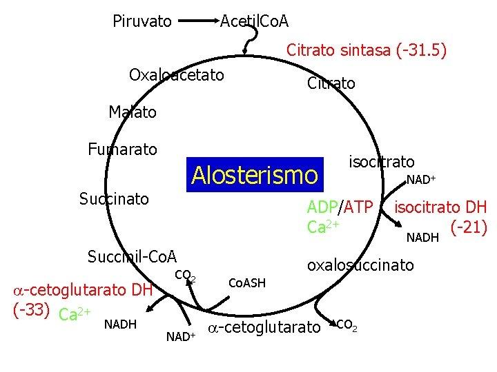 Piruvato Acetil. Co. A Citrato sintasa (-31. 5) Oxaloacetato Citrato Malato Fumarato Alosterismo Succinato