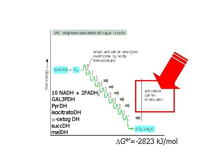 10 NADH + 2 FADH 2 GAL 3 PDH Pyr. DH isocitrato. DH -cetog