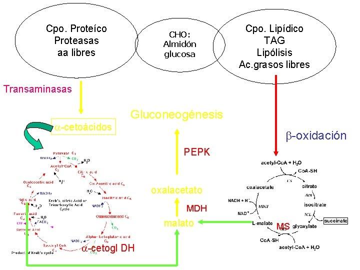 Cpo. Proteíco Proteasas aa libres CHO: Almidón glucosa Cpo. Lipídico TAG Lipólisis Ac. grasos