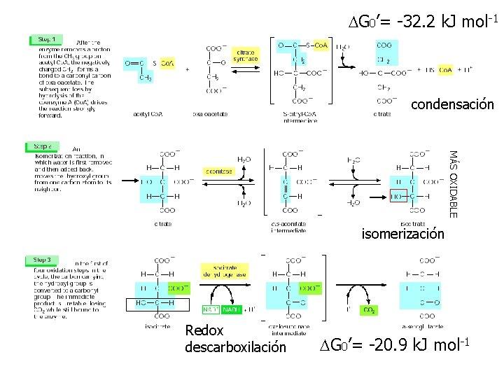 DG 0'= -32. 2 k. J mol-1 condensación MÁS OXIDABLE isomerización Redox descarboxilación DG