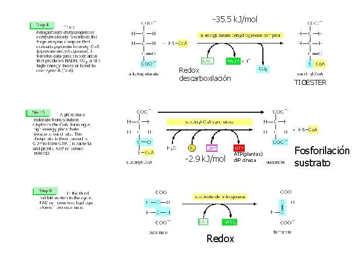 -35. 5 k. J/mol Redox descarboxilación -2. 9 k. J/mol TIOESTER ATP(plantas) di. P