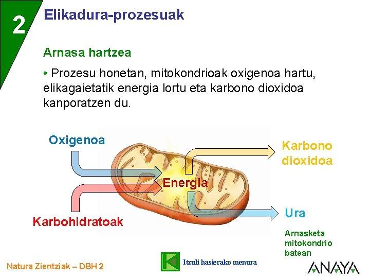 2 Elikadura-prozesuak Arnasa hartzea • Prozesu honetan, mitokondrioak oxigenoa hartu, elikagaietatik energia lortu eta
