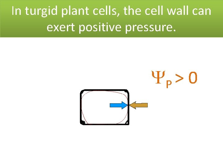 In turgid plant cells, the cell wall can exert positive pressure. P > 0