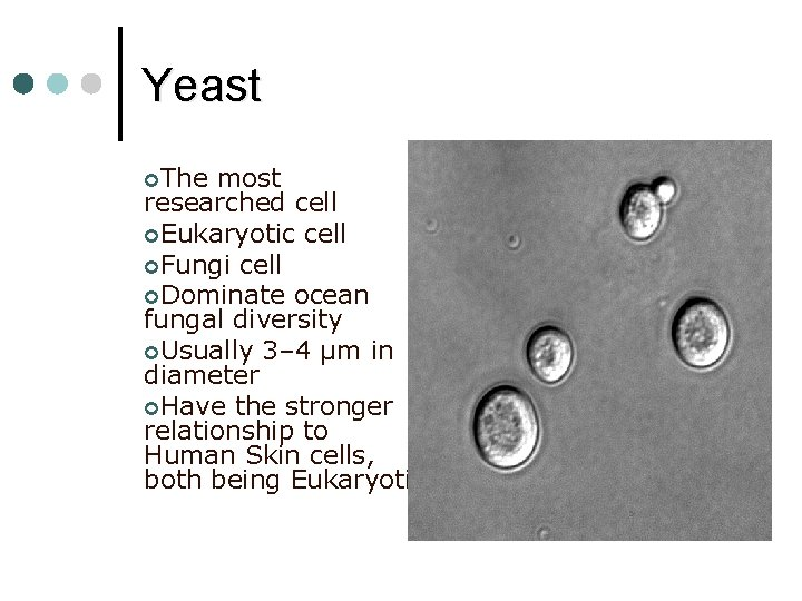 Yeast ¢The most researched cell ¢Eukaryotic cell ¢Fungi cell ¢Dominate ocean fungal diversity ¢Usually