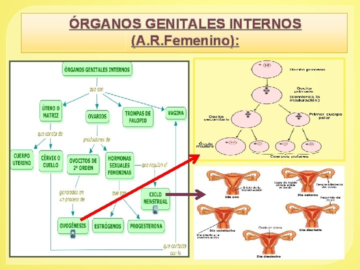 ÓRGANOS GENITALES INTERNOS (A. R. Femenino):
