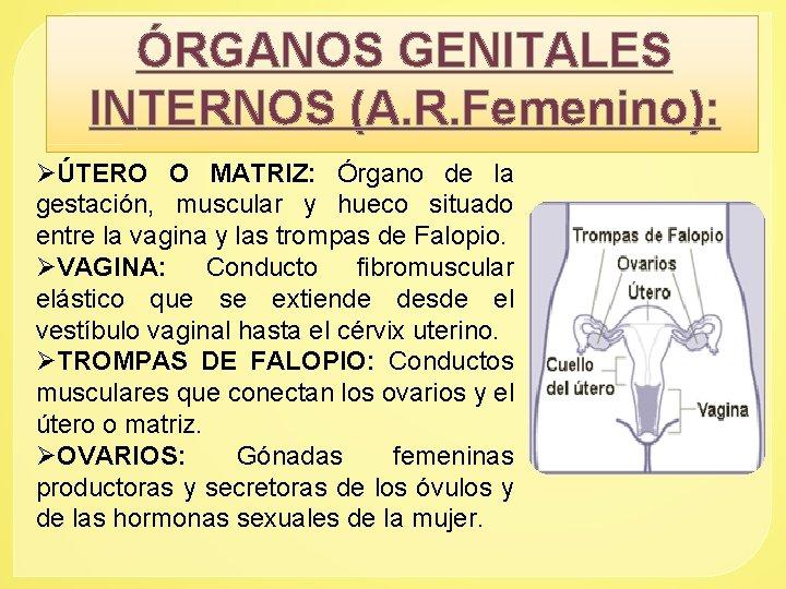 ÓRGANOS GENITALES INTERNOS (A. R. Femenino): ØÚTERO O MATRIZ: Órgano de la gestación, muscular