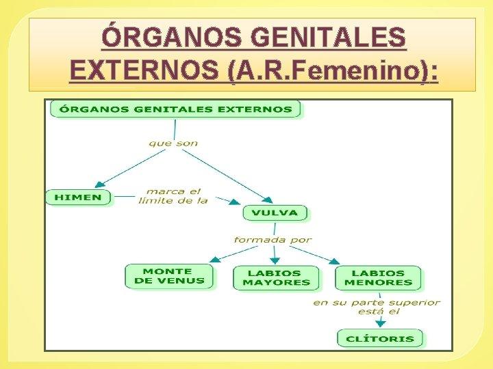 ÓRGANOS GENITALES EXTERNOS (A. R. Femenino):