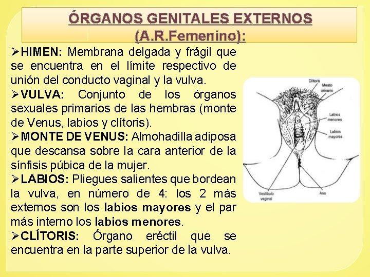 ÓRGANOS GENITALES EXTERNOS (A. R. Femenino): ØHIMEN: Membrana delgada y frágil que se encuentra