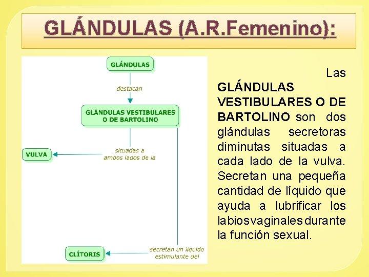 GLÁNDULAS (A. R. Femenino): Las GLÁNDULAS VESTIBULARES O DE BARTOLINO son dos glándulas secretoras