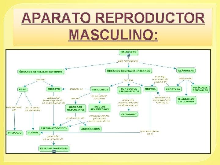 APARATO REPRODUCTOR MASCULINO: