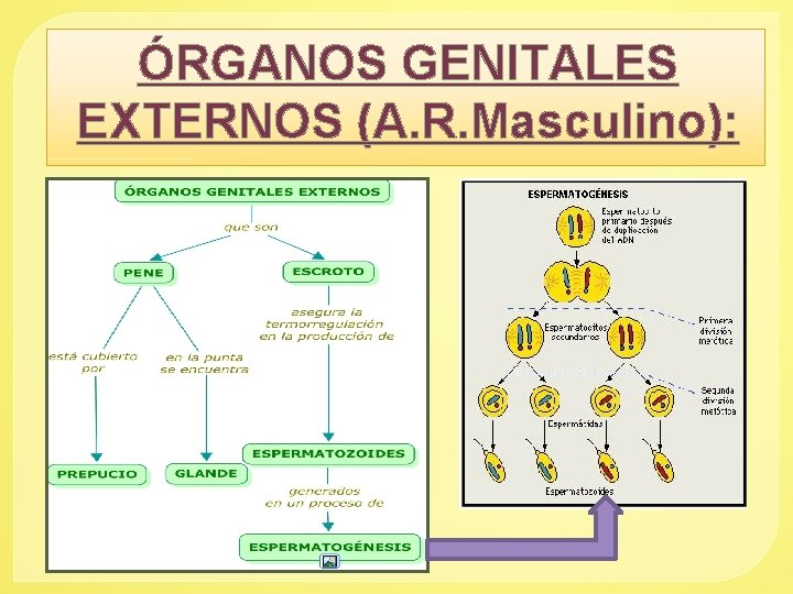 ÓRGANOS GENITALES EXTERNOS (A. R. Masculino):