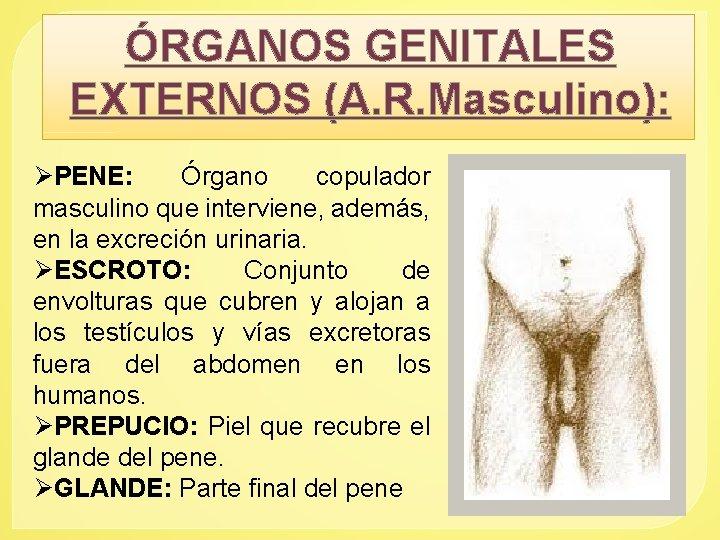 ÓRGANOS GENITALES EXTERNOS (A. R. Masculino): ØPENE: Órgano copulador masculino que interviene, además, en