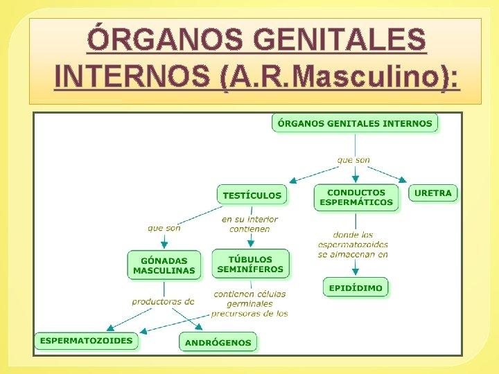 ÓRGANOS GENITALES INTERNOS (A. R. Masculino):