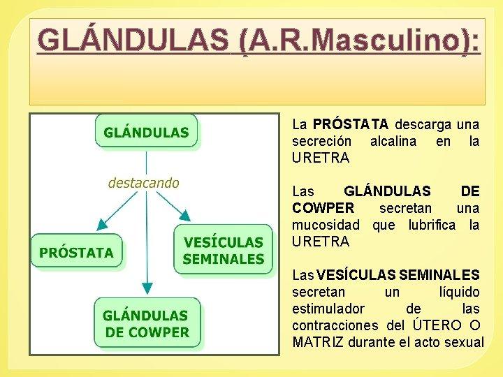 GLÁNDULAS (A. R. Masculino): La PRÓSTATA descarga una secreción alcalina en la URETRA Las