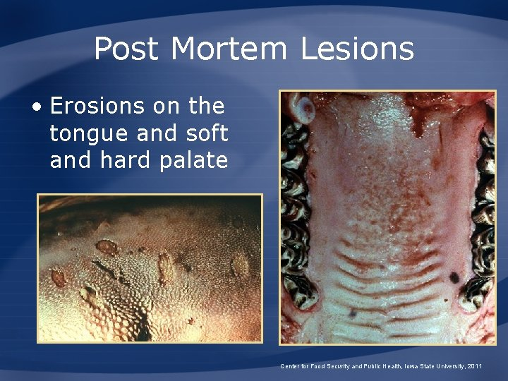 Post Mortem Lesions • Erosions on the tongue and soft and hard palate Center
