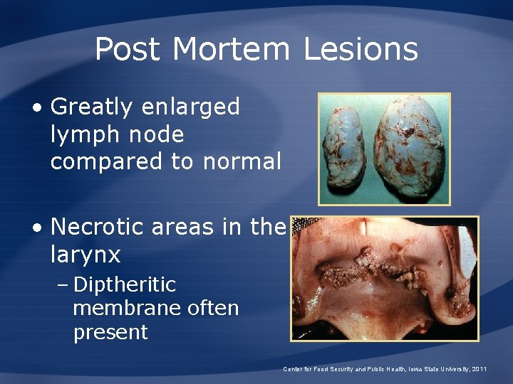 Post Mortem Lesions • Greatly enlarged lymph node compared to normal • Necrotic areas