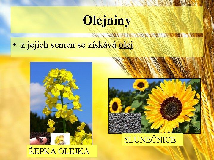 Olejniny • z jejich semen se získává olej SLUNEČNICE ŘEPKA OLEJKA