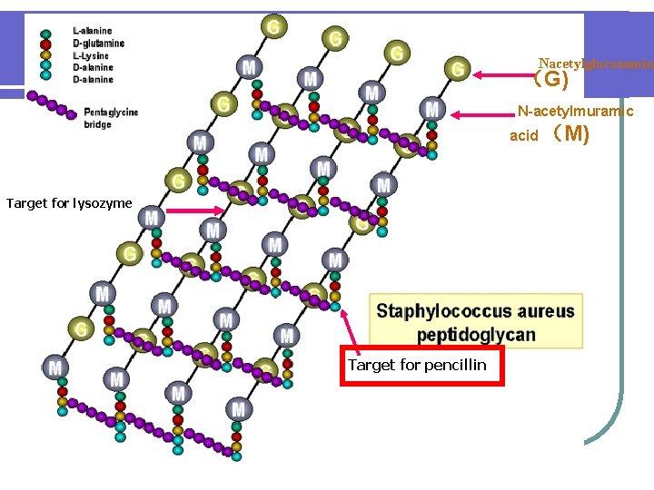 Nacetylglucosamin (G) N-acetylmuramic acid (M) Target for lysozyme Target for pencillin