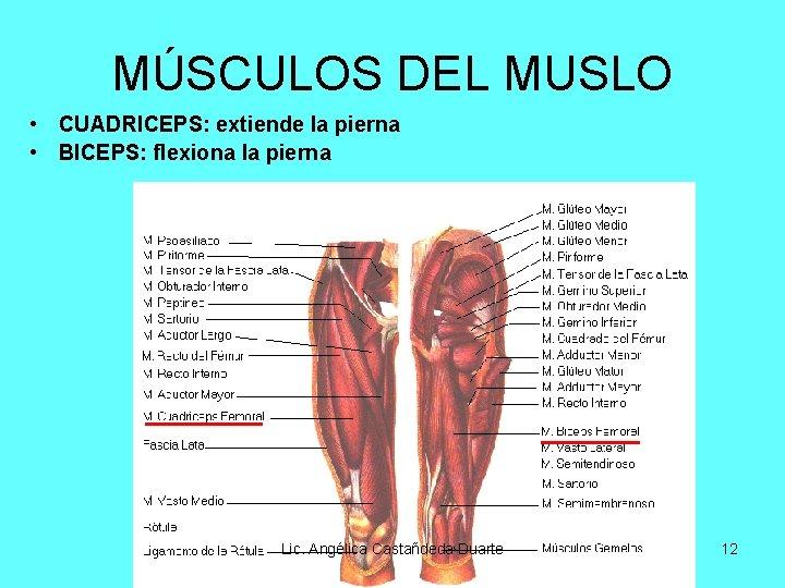 MÚSCULOS DEL MUSLO • CUADRICEPS: extiende la pierna • BICEPS: flexiona la pierna Lic.