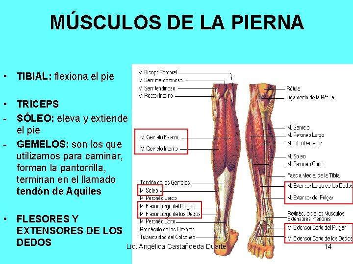 MÚSCULOS DE LA PIERNA • TIBIAL: flexiona el pie • TRICEPS - SÓLEO: eleva