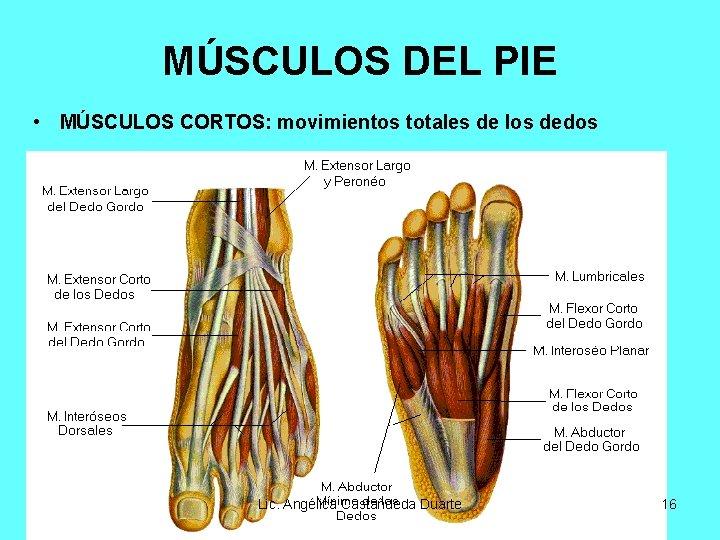 MÚSCULOS DEL PIE • MÚSCULOS CORTOS: movimientos totales de los dedos Lic. Angélica Castañdeda